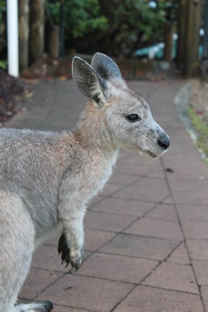 Kangaroos are everywhere!