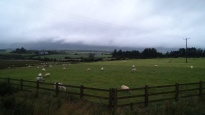 Sheep in Annascaul